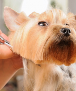 Dog Grooming Course - Advanced Diploma